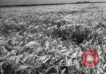 Image of new harvest Turkmenistan, 1949, second 23 stock footage video 65675032367