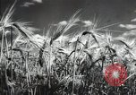 Image of new harvest Turkmenistan, 1949, second 24 stock footage video 65675032367