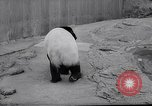 Image of giant panda United Kingdom, 1966, second 7 stock footage video 65675032843
