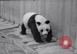 Image of giant panda United Kingdom, 1966, second 11 stock footage video 65675032843