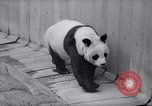 Image of giant panda United Kingdom, 1966, second 12 stock footage video 65675032843