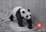 Image of giant panda United Kingdom, 1966, second 13 stock footage video 65675032843