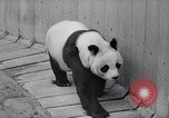 Image of giant panda United Kingdom, 1966, second 14 stock footage video 65675032843