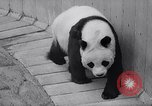 Image of giant panda United Kingdom, 1966, second 15 stock footage video 65675032843