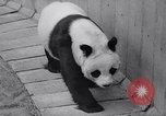 Image of giant panda United Kingdom, 1966, second 16 stock footage video 65675032843