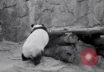 Image of giant panda United Kingdom, 1966, second 21 stock footage video 65675032843