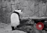 Image of giant panda United Kingdom, 1966, second 22 stock footage video 65675032843