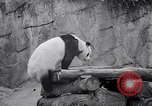 Image of giant panda United Kingdom, 1966, second 23 stock footage video 65675032843