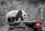 Image of giant panda United Kingdom, 1966, second 24 stock footage video 65675032843