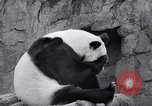 Image of giant panda United Kingdom, 1966, second 25 stock footage video 65675032843