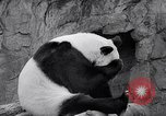 Image of giant panda United Kingdom, 1966, second 26 stock footage video 65675032843