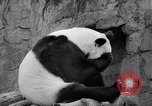 Image of giant panda United Kingdom, 1966, second 27 stock footage video 65675032843