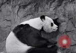 Image of giant panda United Kingdom, 1966, second 28 stock footage video 65675032843