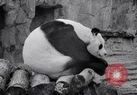 Image of giant panda United Kingdom, 1966, second 34 stock footage video 65675032843