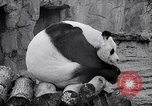 Image of giant panda United Kingdom, 1966, second 35 stock footage video 65675032843