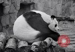 Image of giant panda United Kingdom, 1966, second 36 stock footage video 65675032843