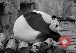Image of giant panda United Kingdom, 1966, second 37 stock footage video 65675032843