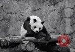 Image of giant panda United Kingdom, 1966, second 39 stock footage video 65675032843