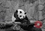 Image of giant panda United Kingdom, 1966, second 40 stock footage video 65675032843