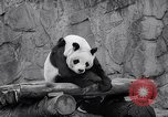 Image of giant panda United Kingdom, 1966, second 41 stock footage video 65675032843