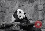 Image of giant panda United Kingdom, 1966, second 42 stock footage video 65675032843