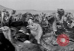 Image of turkey Westley California USA, 1933, second 30 stock footage video 65675032944