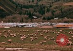 Image of Sheep and roadways Frisco Colorado United States USA, 1971, second 31 stock footage video 65675033332