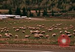 Image of Sheep and roadways Frisco Colorado United States USA, 1971, second 48 stock footage video 65675033332