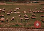 Image of Sheep and roadways Frisco Colorado United States USA, 1971, second 55 stock footage video 65675033332