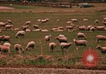 Image of Sheep and roadways Frisco Colorado United States USA, 1971, second 58 stock footage video 65675033332