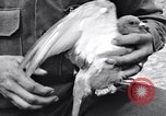 Image of Pigeon messengers Tunisia North Africa, 1943, second 31 stock footage video 65675033484