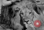 Image of Pet lion in captivity Illinois United States USA, 1954, second 5 stock footage video 65675041493