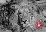 Image of Pet lion in captivity Illinois United States USA, 1954, second 6 stock footage video 65675041493