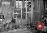 Image of Pet lion in captivity Illinois United States USA, 1954, second 7 stock footage video 65675041493