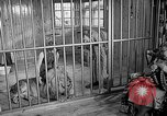 Image of Pet lion in captivity Illinois United States USA, 1954, second 8 stock footage video 65675041493