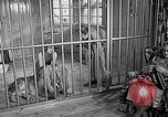 Image of Pet lion in captivity Illinois United States USA, 1954, second 9 stock footage video 65675041493
