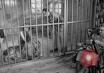 Image of Pet lion in captivity Illinois United States USA, 1954, second 10 stock footage video 65675041493
