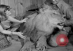 Image of Pet lion in captivity Illinois United States USA, 1954, second 14 stock footage video 65675041493