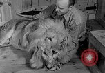 Image of Pet lion in captivity Illinois United States USA, 1954, second 16 stock footage video 65675041493
