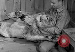 Image of Pet lion in captivity Illinois United States USA, 1954, second 17 stock footage video 65675041493