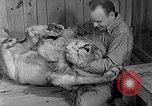 Image of Pet lion in captivity Illinois United States USA, 1954, second 18 stock footage video 65675041493