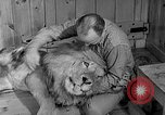 Image of Pet lion in captivity Illinois United States USA, 1954, second 19 stock footage video 65675041493