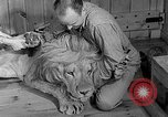 Image of Pet lion in captivity Illinois United States USA, 1954, second 20 stock footage video 65675041493