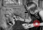 Image of Pet lion in captivity Illinois United States USA, 1954, second 21 stock footage video 65675041493