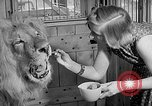 Image of Pet lion in captivity Illinois United States USA, 1954, second 22 stock footage video 65675041493