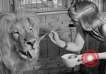 Image of Pet lion in captivity Illinois United States USA, 1954, second 24 stock footage video 65675041493