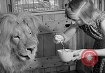 Image of Pet lion in captivity Illinois United States USA, 1954, second 26 stock footage video 65675041493