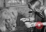Image of Pet lion in captivity Illinois United States USA, 1954, second 27 stock footage video 65675041493