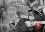 Image of Pet lion in captivity Illinois United States USA, 1954, second 28 stock footage video 65675041493