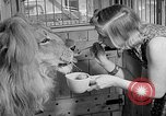 Image of Pet lion in captivity Illinois United States USA, 1954, second 30 stock footage video 65675041493